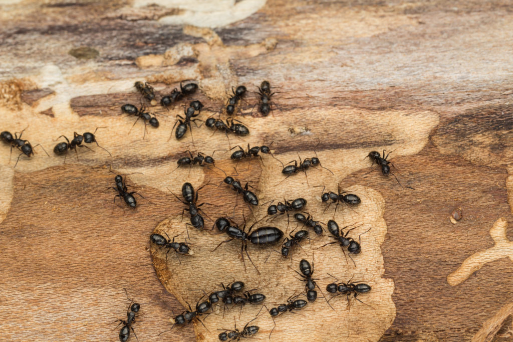 Carpenter Ants Vs Termites What S The Difference Power Pest Control