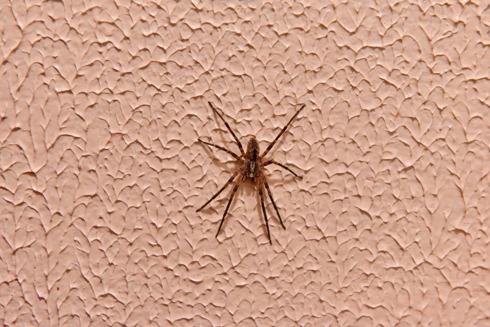 spiders Toronto