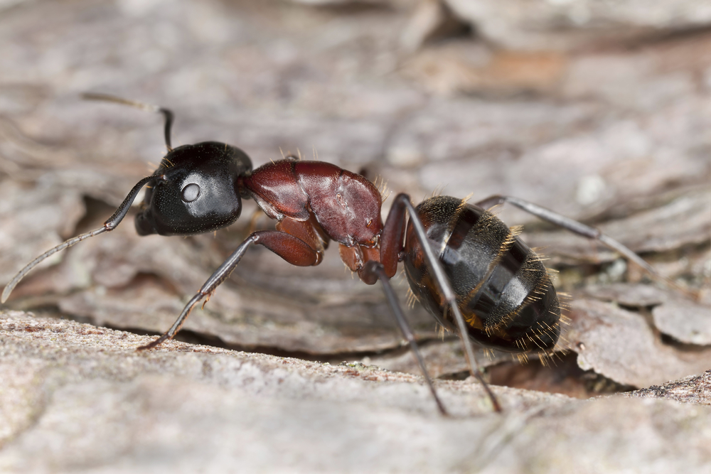 Power Ant Fly : Carpenter ants coming to your home this spring