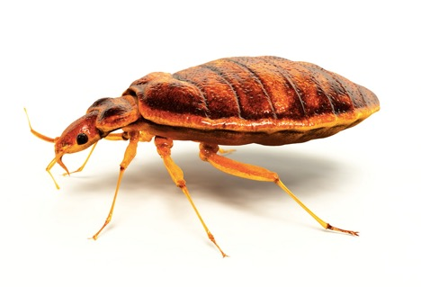 Everything You Didn't Want to Know About Bedbugs