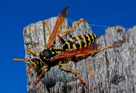 wasps toronto
